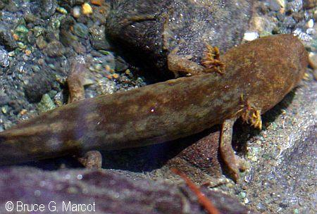pacific giant salamander  EPOW - Ecology Pictureof the