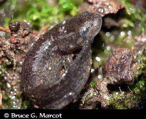 pacific giant salamander range  ... Pacific Giant Salamanders ...