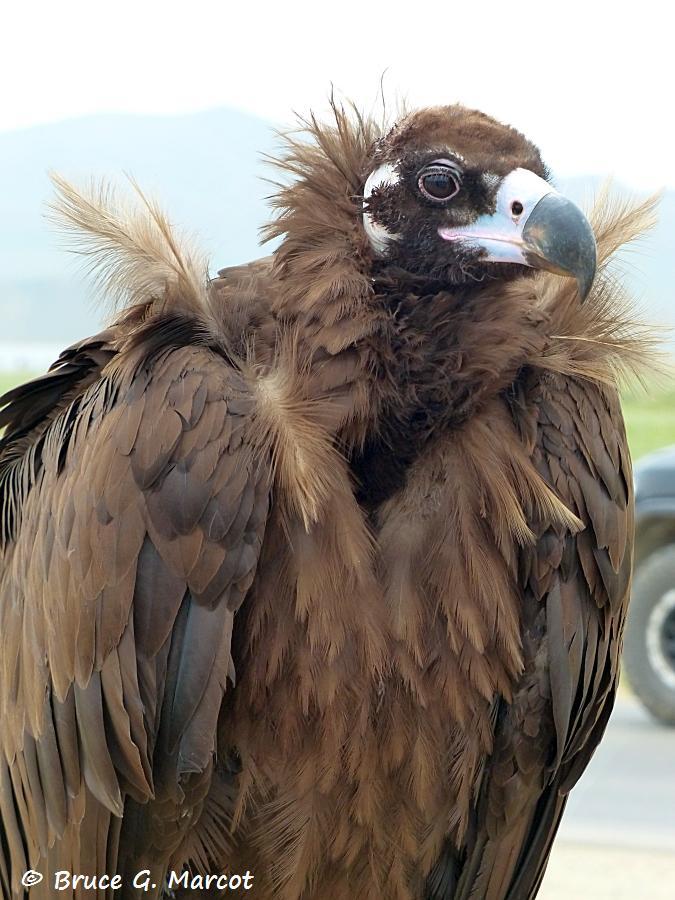 Cinereous vulture